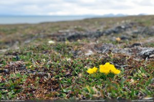 Ranunculus_wilanderi_3_full